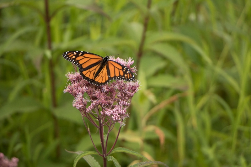 butterfly on a flower in tall grass