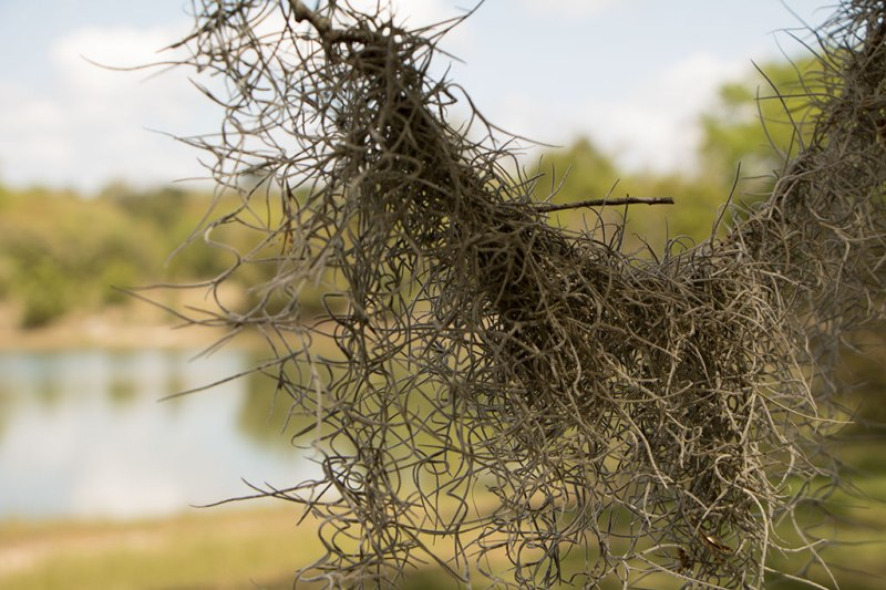 Spanish Moss dangling in front of camera